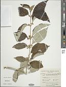 view Callicarpa candicans var. integrifolia (Lam.) Fosberg digital asset number 1