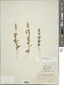 view Plectritis macrocera subsp. grayi (Suksd.) Morey digital asset number 1