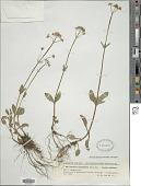 view Valeriana simplicifolia Kabath digital asset number 1