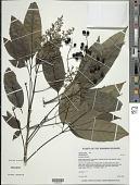 view Vitex parviflora A. Juss. digital asset number 1