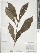 view Aegiphila integrifolia (Jacq.) B.D. Jacks. digital asset number 1