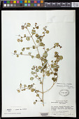 view Rhabdothamnus solandri A. Cunn. digital asset number 1