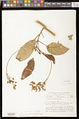 view Besleria affinis C.V. Morton digital asset number 1
