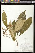 view Besleria rhytidophyllum Hanst. digital asset number 1