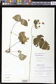 view Epithema ceylanicum Wight digital asset number 1
