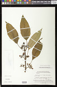 view Besleria divaricata Poepp. digital asset number 1