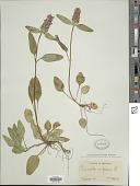 view Prunella vulgaris L. digital asset number 1
