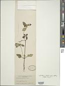 view Scutellaria elliptica Muhl. ex Spreng. digital asset number 1