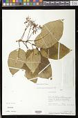 view Besleria variabilis C.V. Morton digital asset number 1