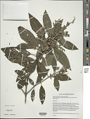 view Salvia foveolata Urb. & Ekman digital asset number 1