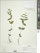 view Scutellaria nervosa Pursh digital asset number 1