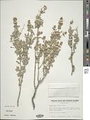 view Salvia dorrii digital asset number 1