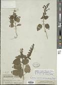 view Scutellaria ovata subsp. bracteata (Benth.) Epling digital asset number 1
