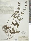 view Salvia chinensis Benth. digital asset number 1