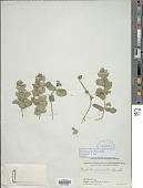 view Marmoritis nivalis (Benth.) Hedge digital asset number 1