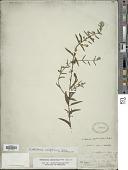 view Scutellaria californica A. Gray digital asset number 1