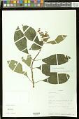 view Gasteranthus quitensis Benth. digital asset number 1