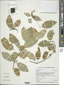 view Stenogyne purpurea H. Mann digital asset number 1