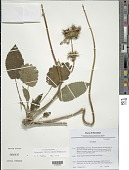 view Phlomoides hamosa (Benth.) Mathiesen digital asset number 1