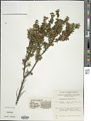view Prostanthera cuneata Benth. digital asset number 1