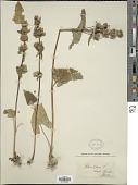 view Phlomoides tuberosa (L.) Moench digital asset number 1