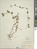 view Micromeria douglasii Benth. digital asset number 1