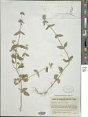view Calamintha chinensis Benth. digital asset number 1