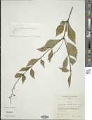 view Orthosiphon aristatus (Blume) Miq. digital asset number 1