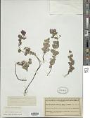 view Origanum scabrum Boiss. & Heldr. digital asset number 1