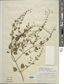 view Scutellaria saxatilis Riddell digital asset number 1