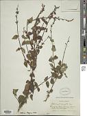 view Salvia elegans Vahl digital asset number 1