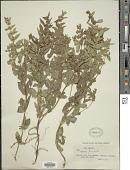 view Mentha penardii (Briq.) Rydb. digital asset number 1
