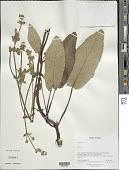 view Salvia thormannii Urb. digital asset number 1