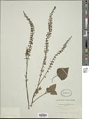 view Plectranthus persoonii Hedge digital asset number 1