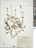 view Salvia helianthemifolia Benth. digital asset number 1