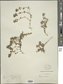 view Thymus serpyllum L. digital asset number 1