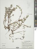 view Pogogyne nudiuscula A. Gray digital asset number 1