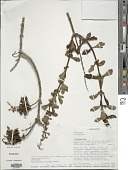 view Plectranthus trilobus Hedge digital asset number 1