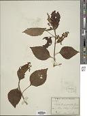 view Plectranthus longipetiolatus Hedge digital asset number 1