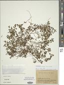 view Clinopodium brownei (Sw.) Kuntze digital asset number 1