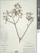view Plectranthus igniarius (Schweinf.) Agnew digital asset number 1