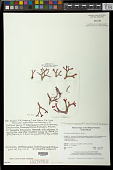 view Gracilaria smithsoniensis Gurgel et al. in I.A. Abbott & McDermid digital asset number 1