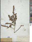 view Scutellaria columnae All. digital asset number 1