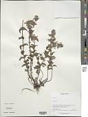 view Clinopodium sp. digital asset number 1