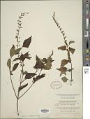 view Salvia albiflora M. Martens & Galeotti digital asset number 1