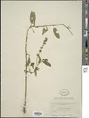 view Stachys tenuifolia Willd. digital asset number 1