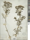 view Pycnanthemum tenuifolium Schrad. digital asset number 1