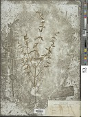 view Clinopodium glabellum (Michx.) Kuntze digital asset number 1