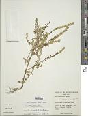 view Mosla lanceolata (Benth.) Maxim. digital asset number 1