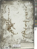 view Clinopodium vimineum (L.) Kuntze digital asset number 1